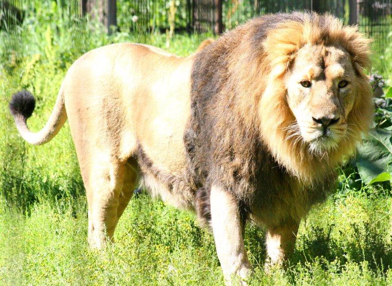seuralaiset net luonne leijona